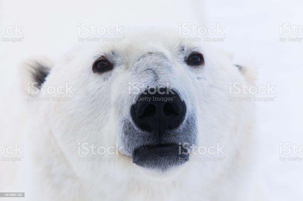 Polar Bear's Nose stock photo