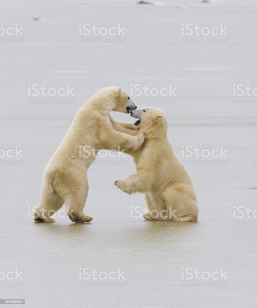 Polar bears on ice. royalty-free stock photo