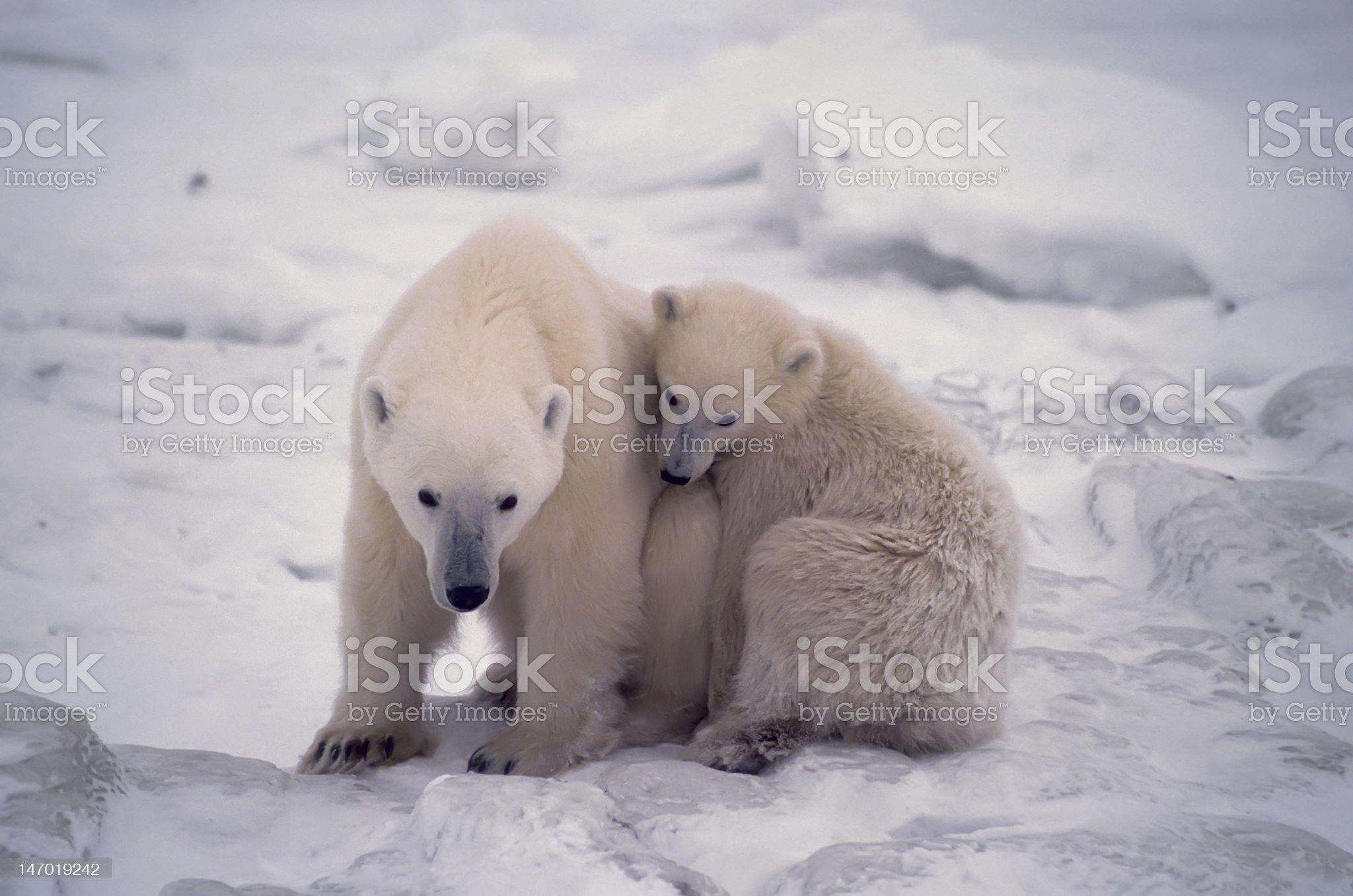 Polar bears royalty-free stock photo