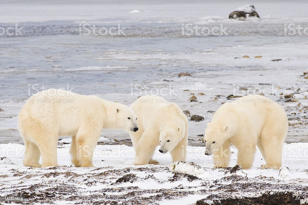 polar bears. royalty-free stock photo