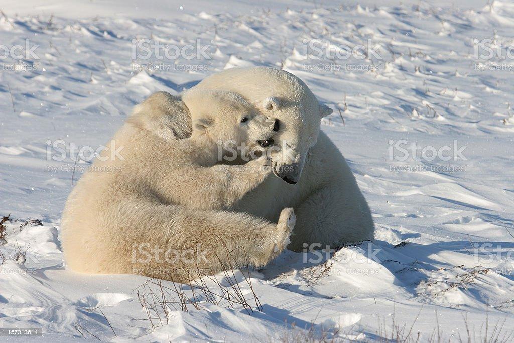 Polar bears play fight on snow near Hudson Bay stock photo