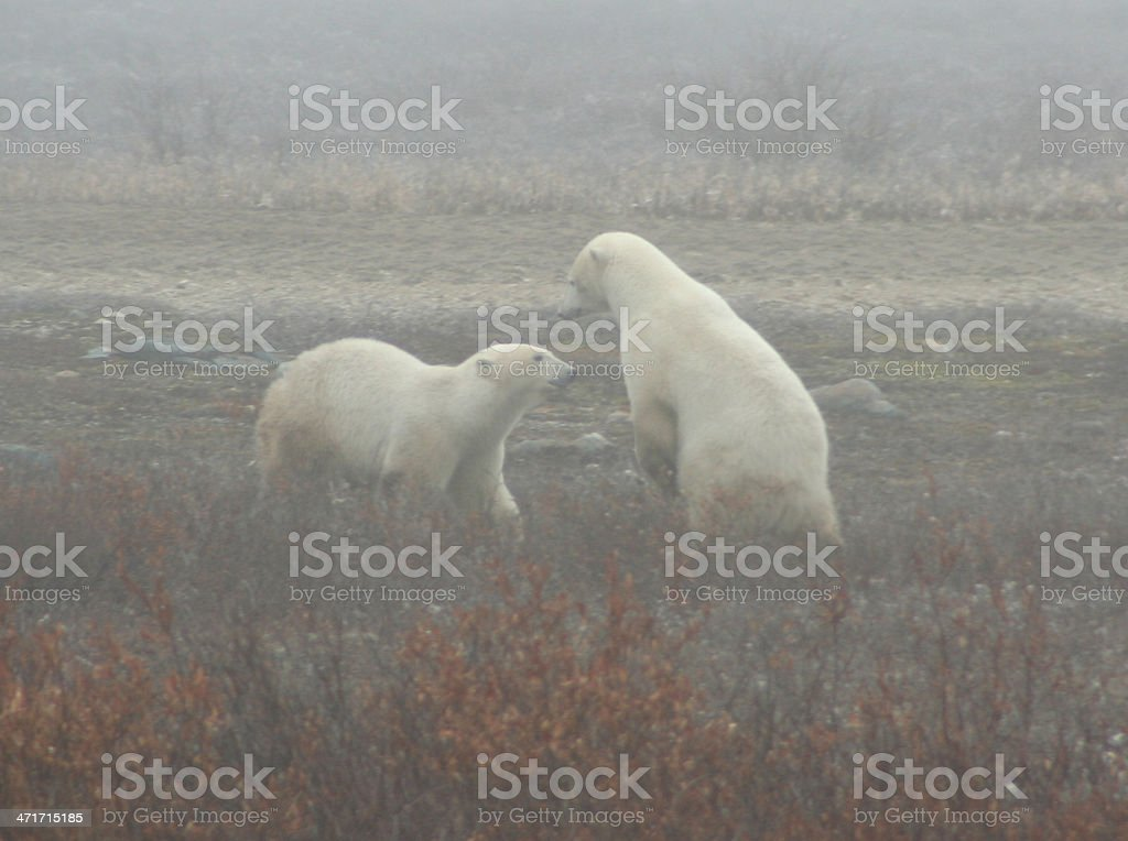 Polar Bears Play Fighting in Fog royalty-free stock photo