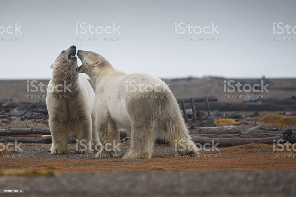 Polar Bears Play Fighting on Land in Arctic Fall stock photo