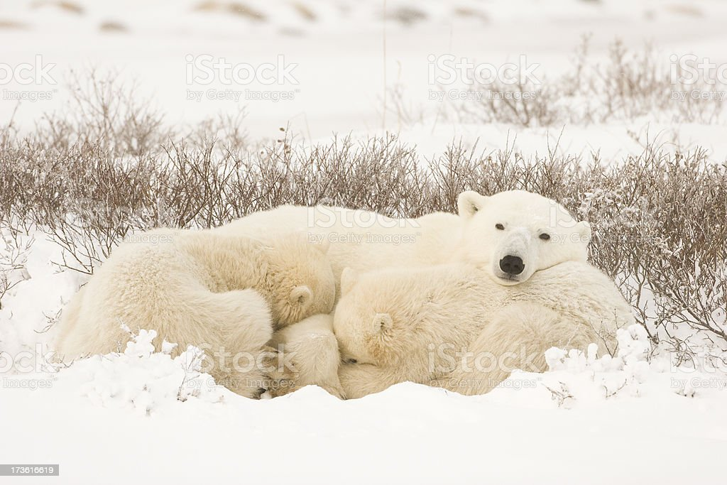 Polar bears resting. royalty-free stock photo