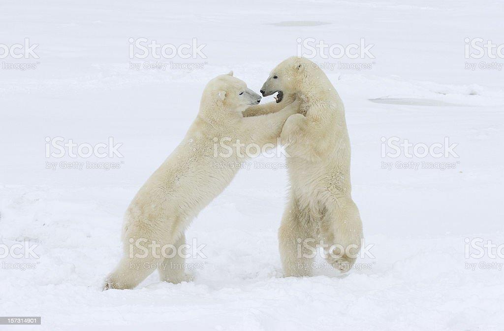 Polar bears spar and play fight on arctic snow stock photo