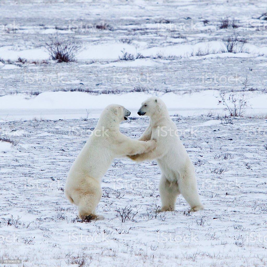 Polar Bears sparing in the Wild stock photo