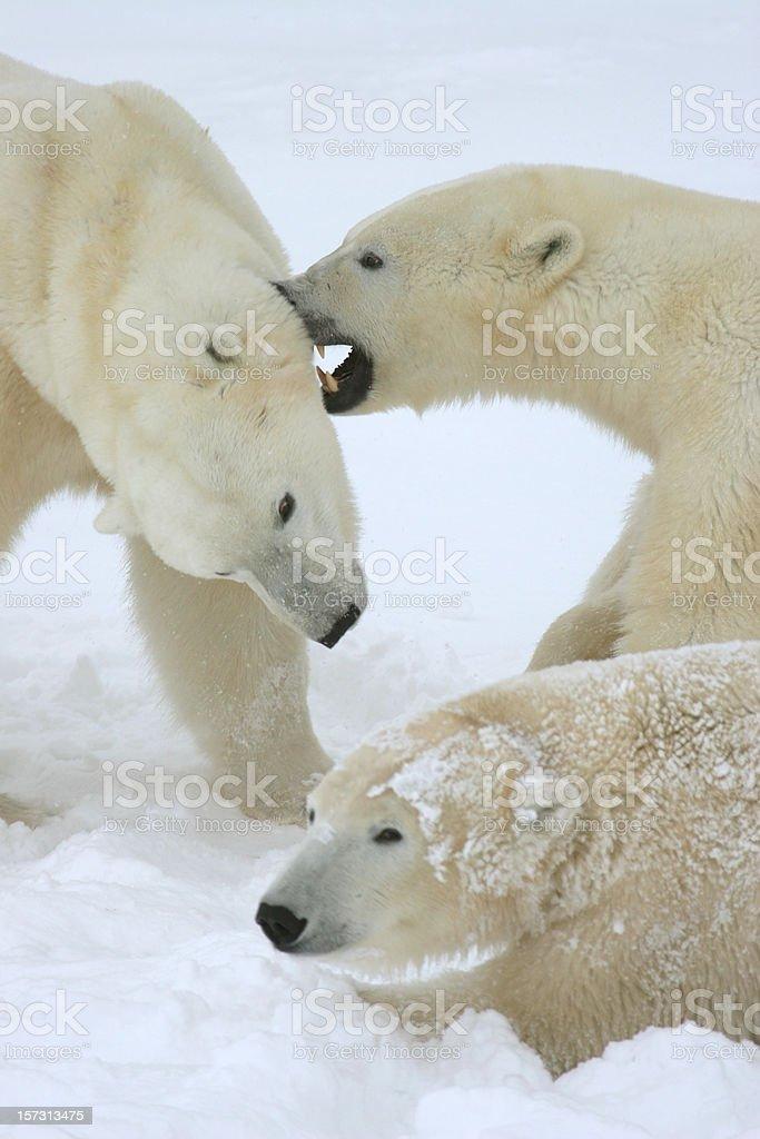 Polar bears wrestle spar arctic snow Churchill Manitoba royalty-free stock photo