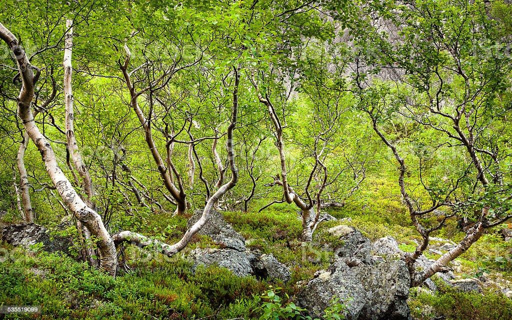 Polar birch stock photo