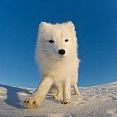 Polar fox looking at the camera.