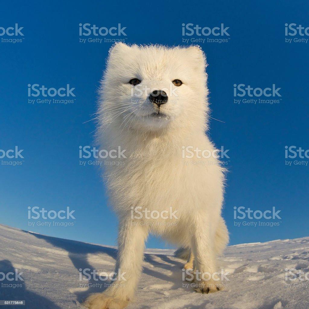 Polar fox looking at the camera. stock photo