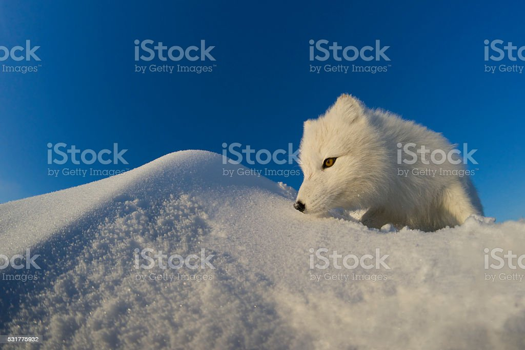 Polar fox observes tundra. stock photo