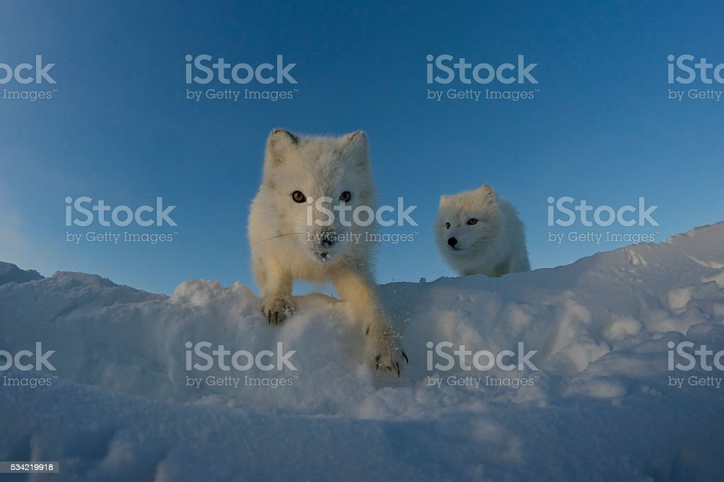 Polar foxes looking for prey in the snowy tundra. stock photo