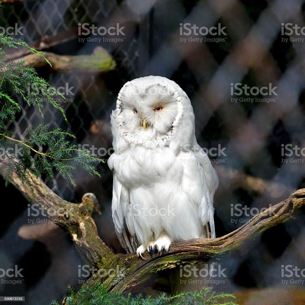 Polar owl male closeup in nature stock photo