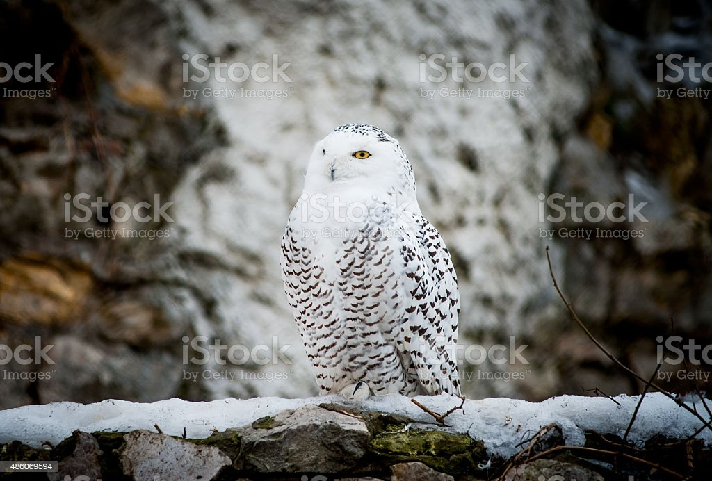Polar owl male closeup stock photo