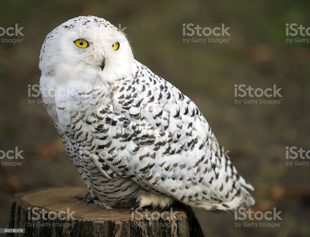 Polar owl male closeup shot. stock photo