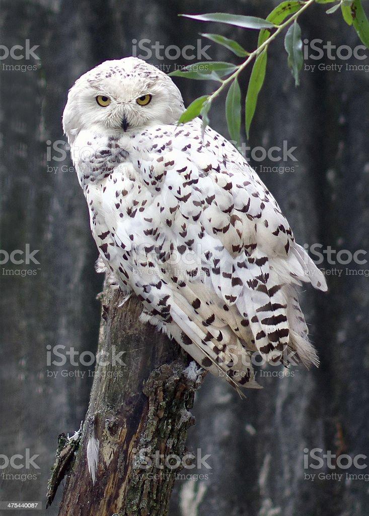 Polar owl stock photo