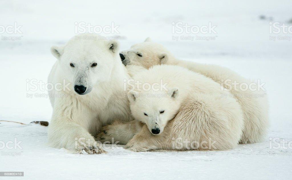 Polar she-bear with cubs stock photo