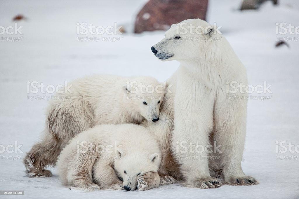 Polar she-bear with cubs. stock photo