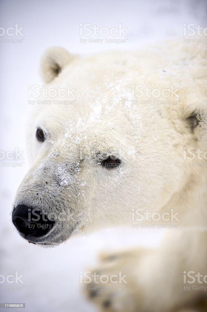 Polar Sniff stock photo