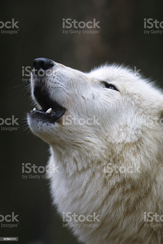 Polar wolf howling royalty-free stock photo