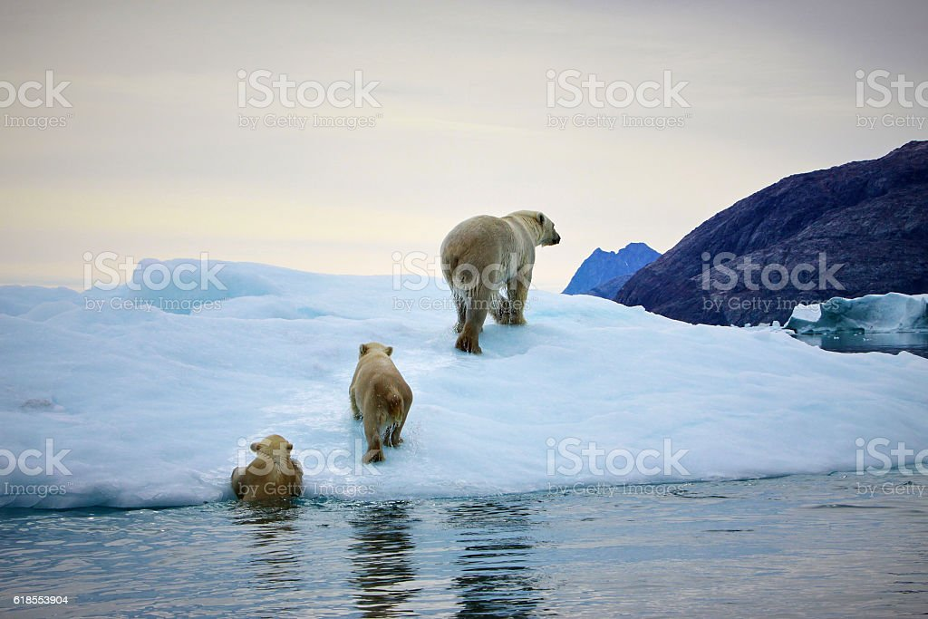 Polarbear mother with cubs stock photo