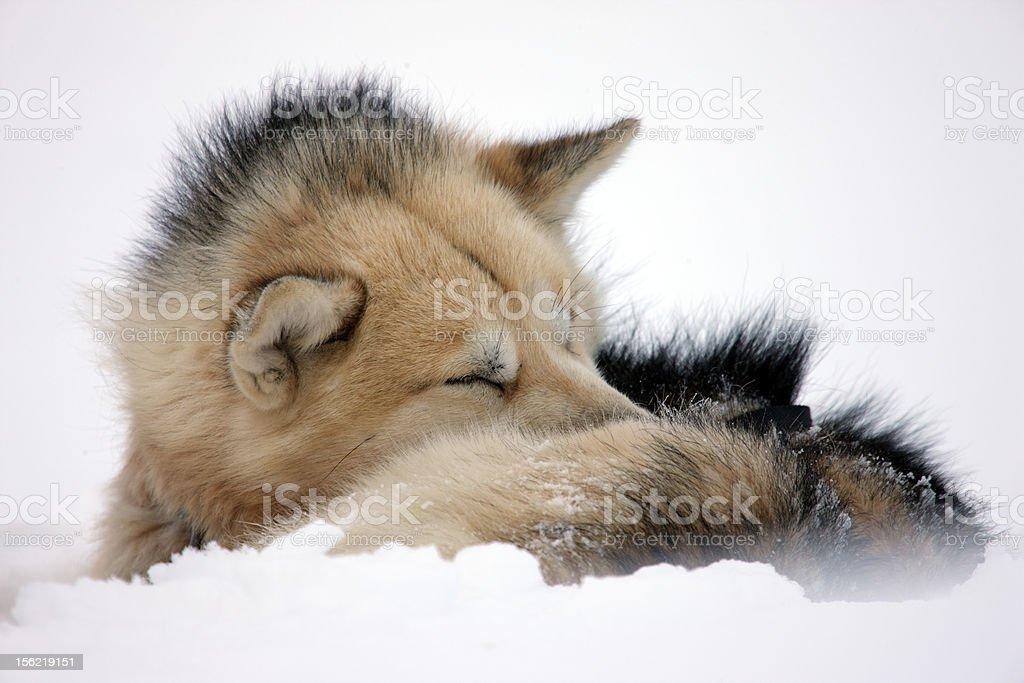 Polar-bear-hunting sled dog rolled up to sleep, Greenland royalty-free stock photo