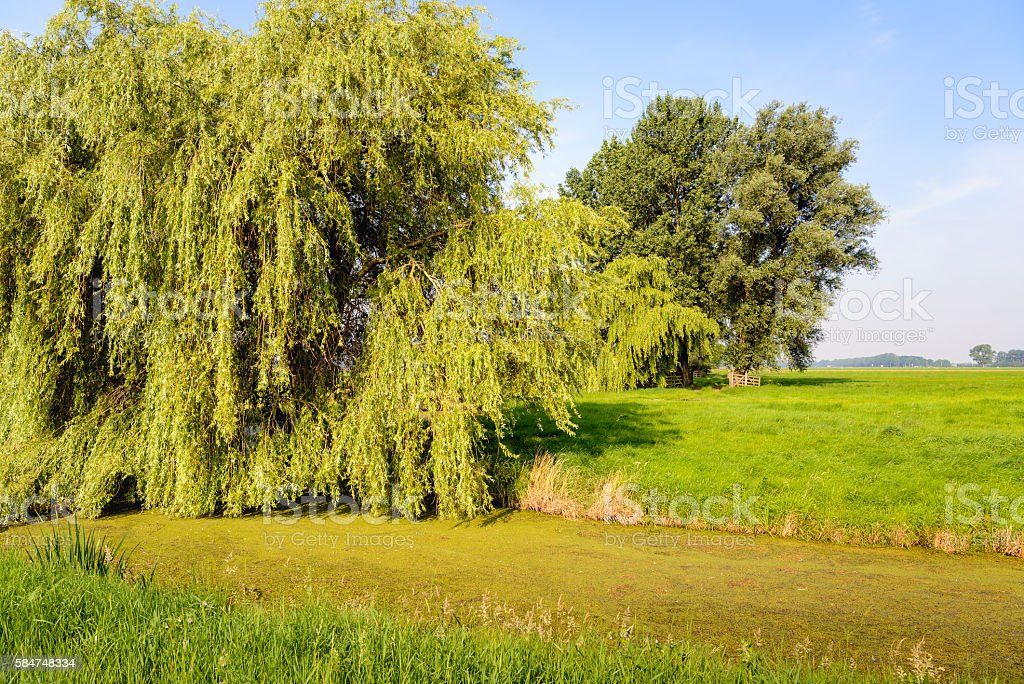 Polder landscape with a weeping willow tree in the foreground stock photo