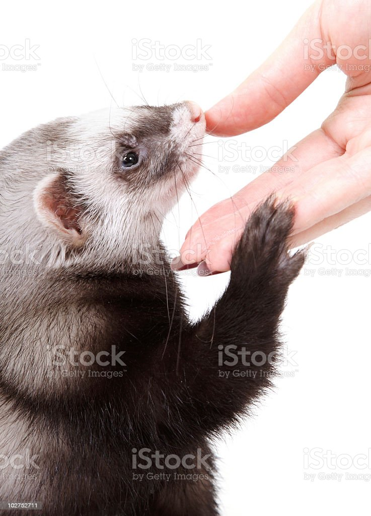 Polecat and a human hand stock photo
