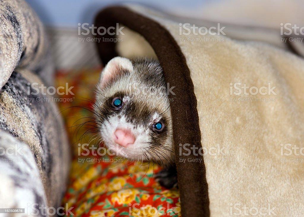 Polecat under a blanket stock photo