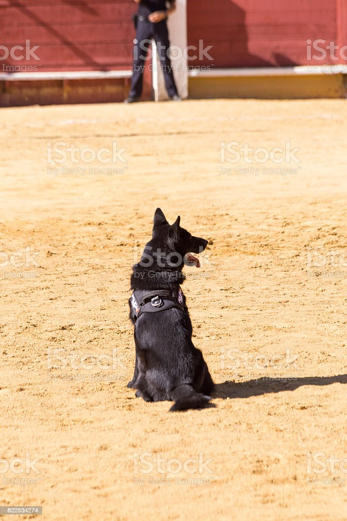 Police dog trained in an exhibition of his work stock photo