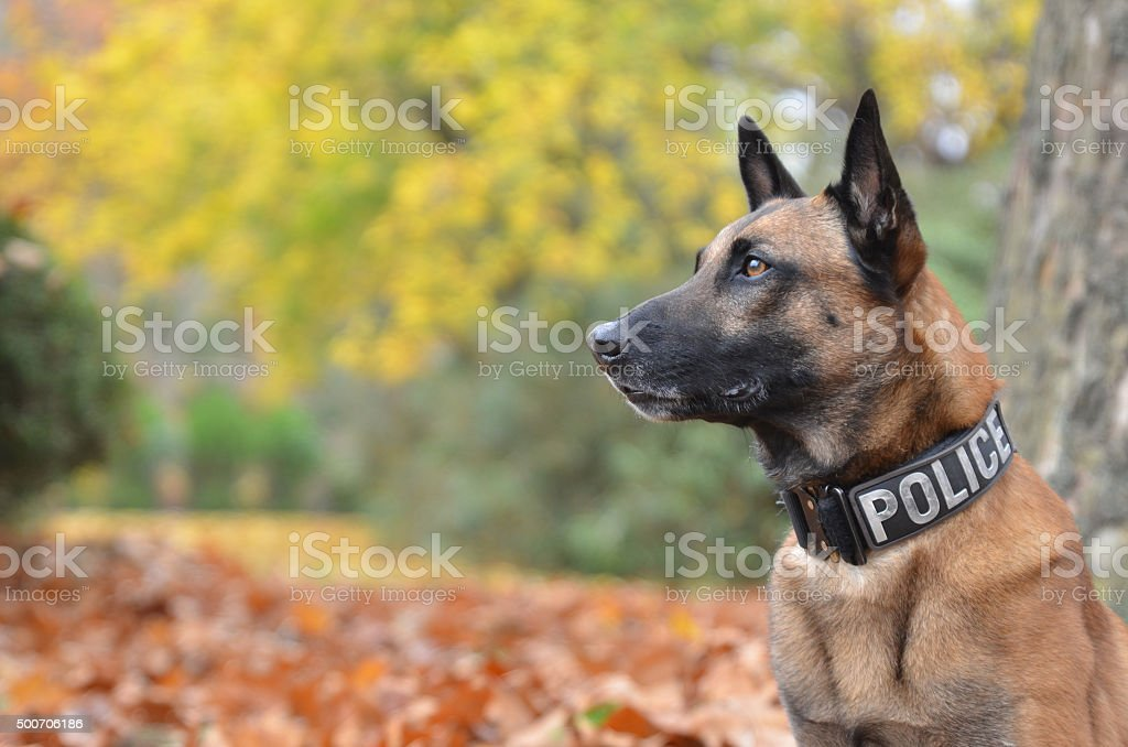 Police Dog With Official Collar stock photo