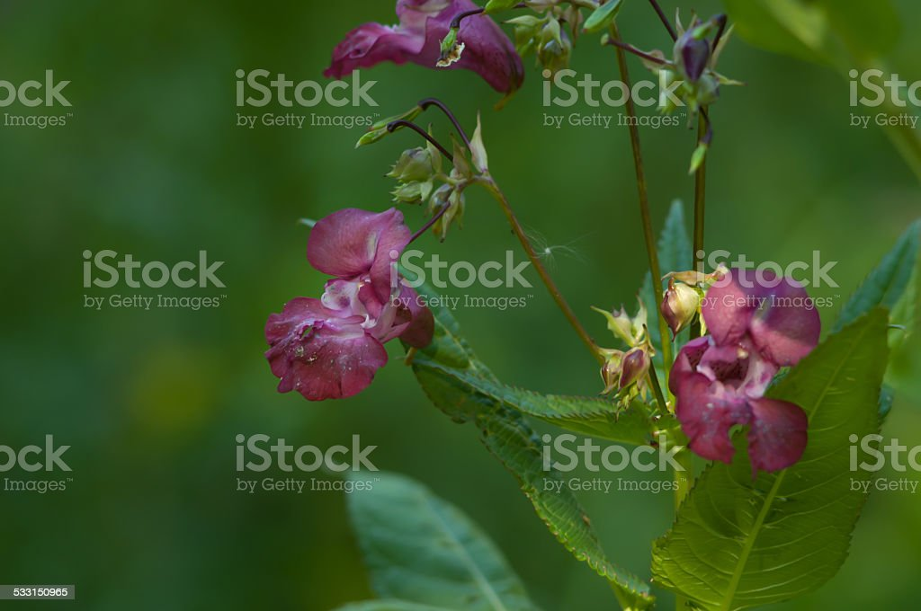 Policeman's Helmet (Impatiens glandulifera) plants in a forest closeup stock photo