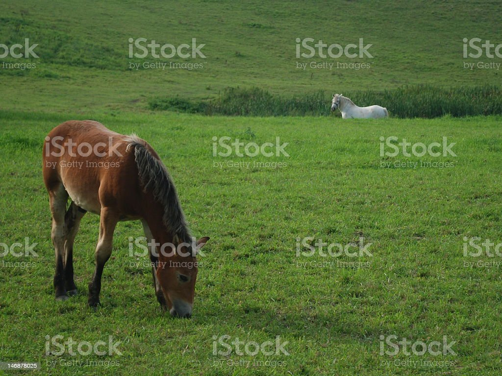 Polish horses on the meadow , white horse stock photo
