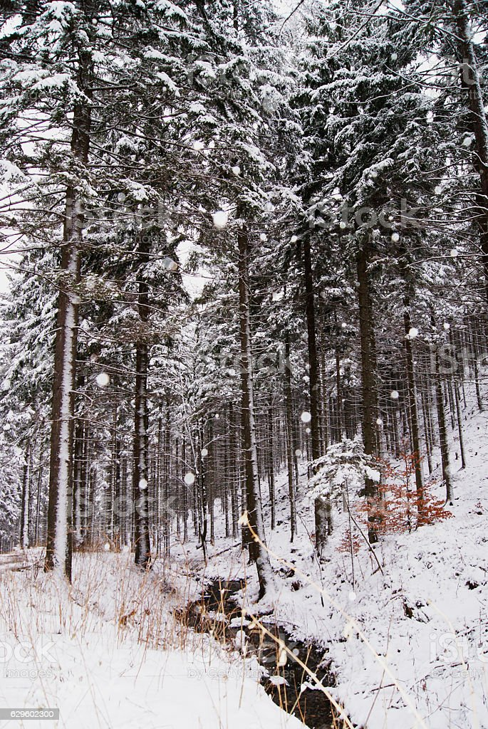 Polish winter forest in the karkonosze mountains stock photo