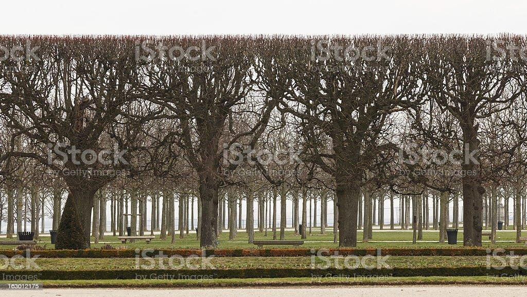 Pollarded trees, Saint Germain en Laye stock photo
