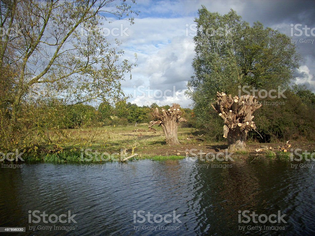 Pollarded willow trees by river stock photo