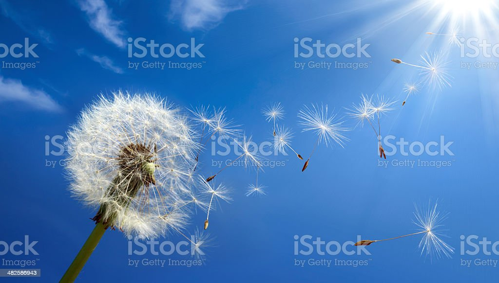 pollen and allergy stock photo