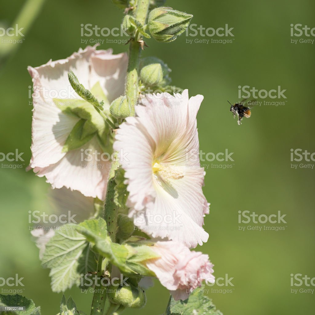 Pollen Covered Bumblebee pollinating a hollyhock royalty-free stock photo