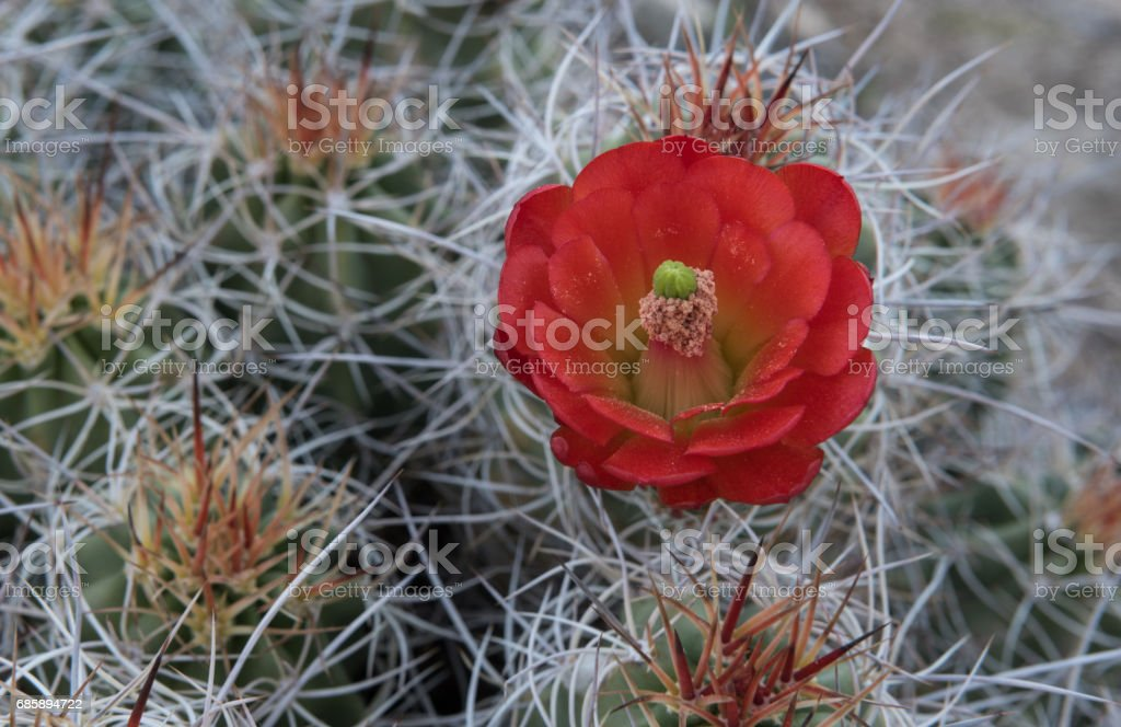 Pollen Covered Claret Cup Cactus Flower stock photo