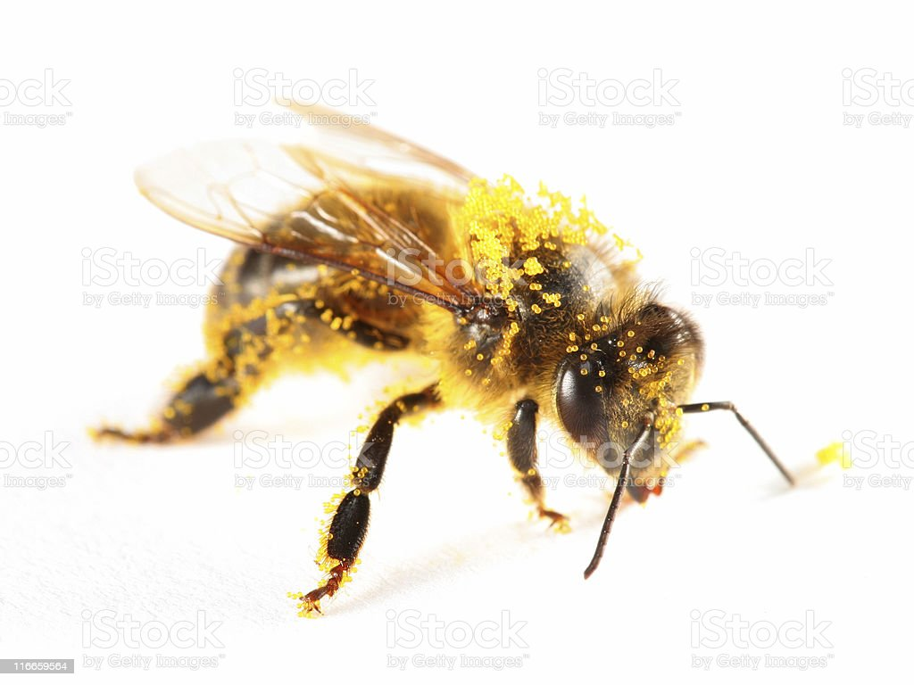 Pollen covered honeybee royalty-free stock photo