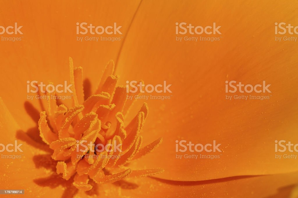 Pollen Covered  Pistils on Yellow Poppy Flower stock photo