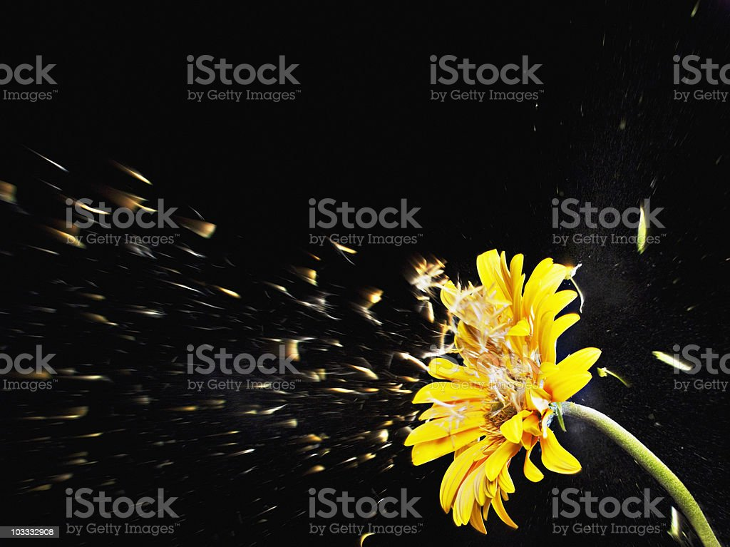 Pollen flying from yellow gerbera daisy stock photo