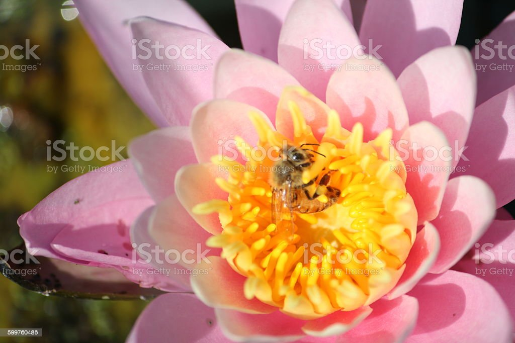 Pollenation stock photo