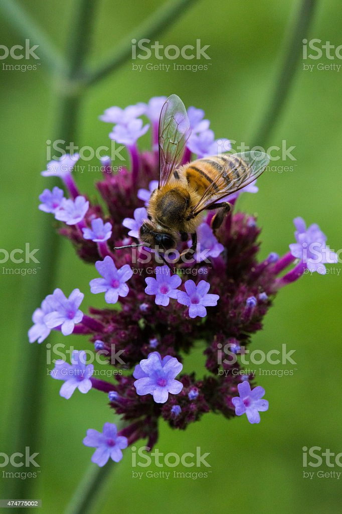 Pollinating bee stock photo