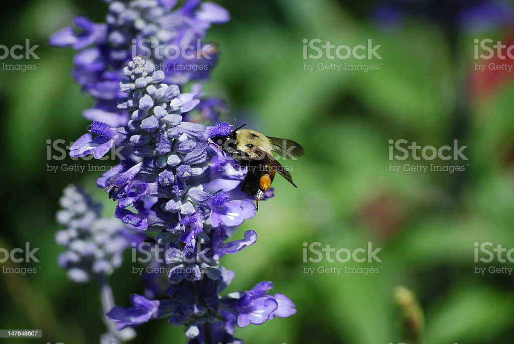 Pollinating Bumble Bee royalty-free stock photo