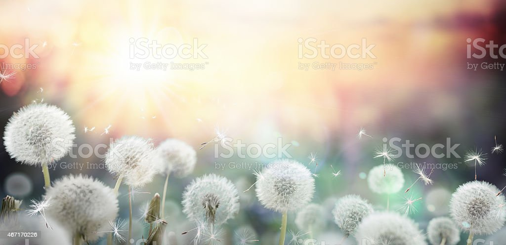 pollination and allergy in spring stock photo