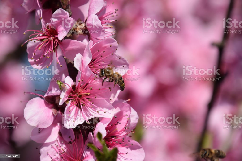 Pollination of flowers by bees peach. stock photo