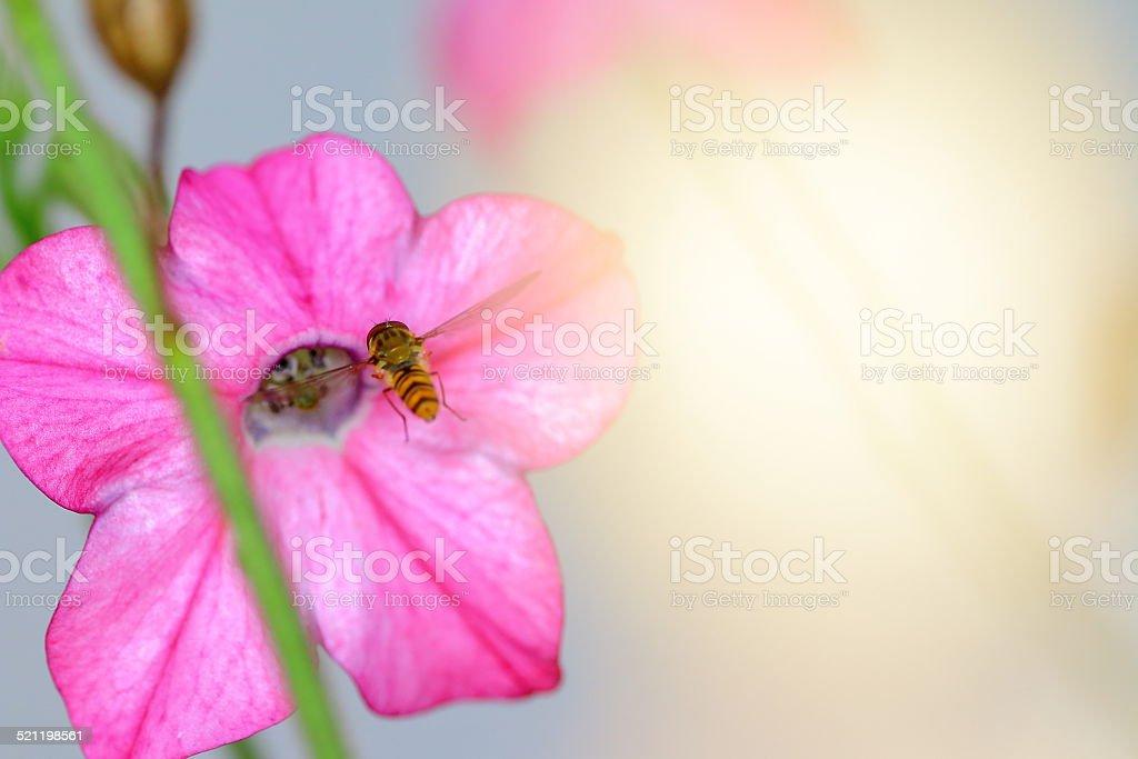 Pollination of Nicotiana tabacum flower stock photo