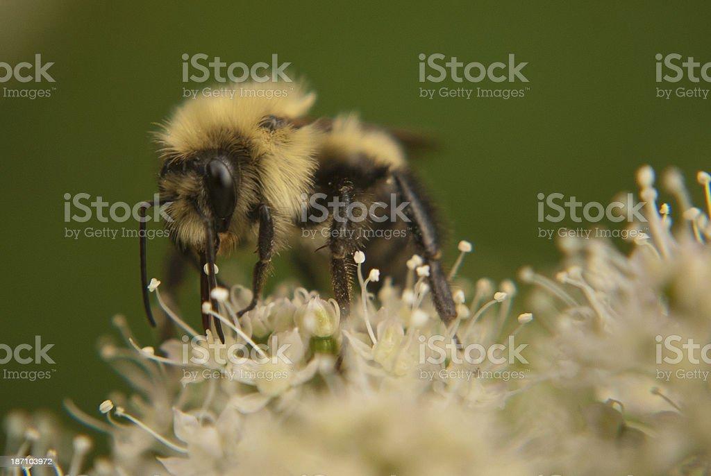 Pollinator stock photo