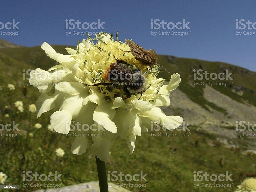 Pollinators cooperation royalty-free stock photo